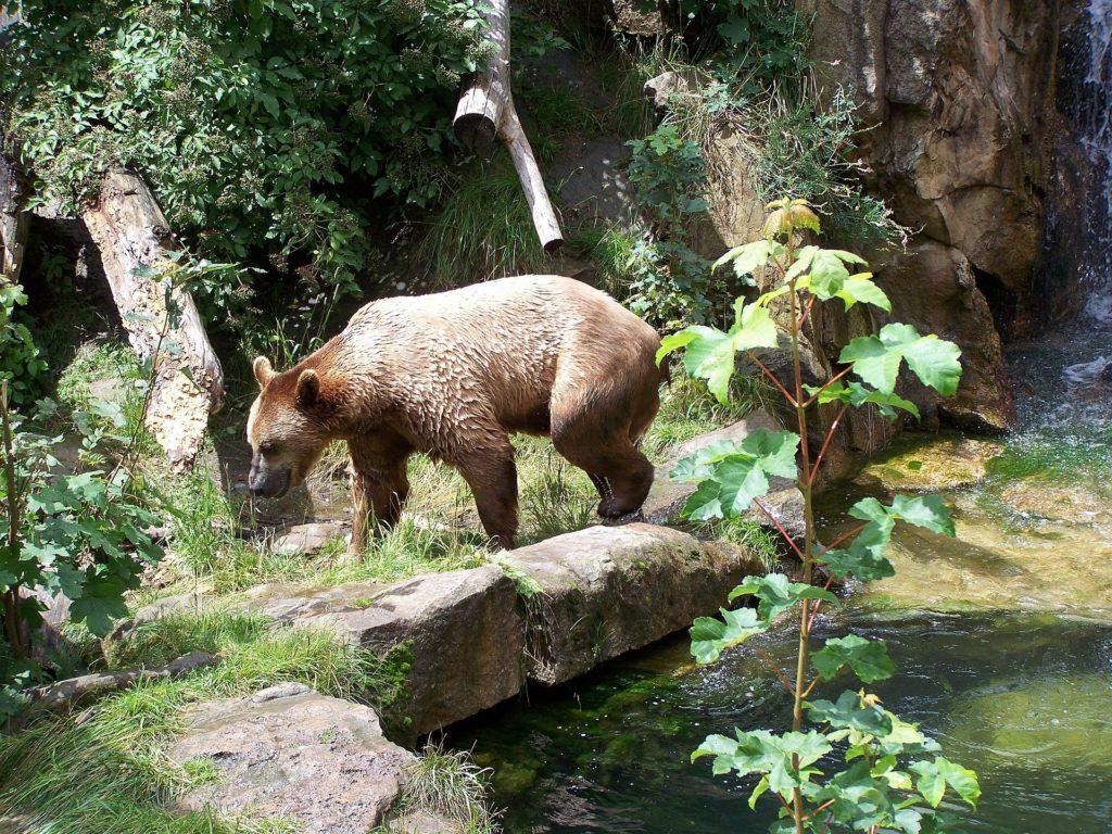 Alpenzoo Bear